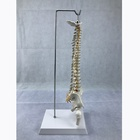 45cm anatomical human full spine model C