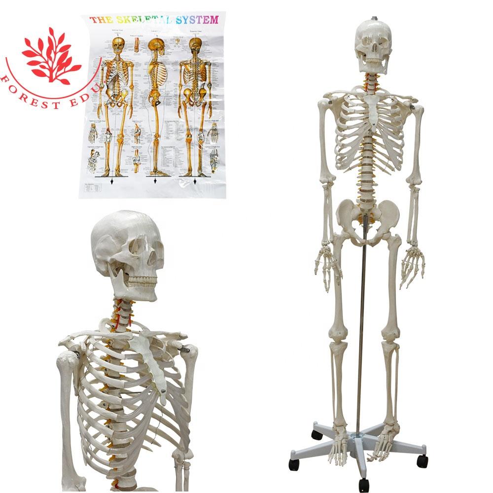 Natural Size Anatomical 3D 176cm Human Skeleton Model
