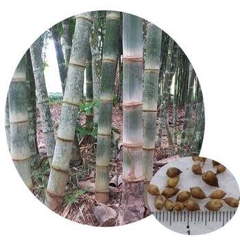 High germination non-hybrid tropical plant genuine Dendrocalamus asper giant bamboo seeds