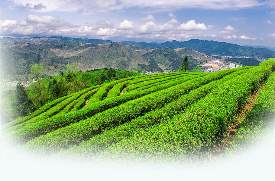 Chinese Famous Wholesale Natural Longjing Spring Green Tea - 4uTea   4uTea.com