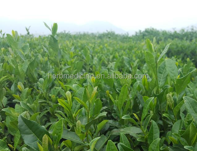 High quality mixed tea Osmanthus blossoms Longjing green tea dragon well - 4uTea | 4uTea.com