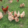 Poultry feed additive Probiotics growth promoter