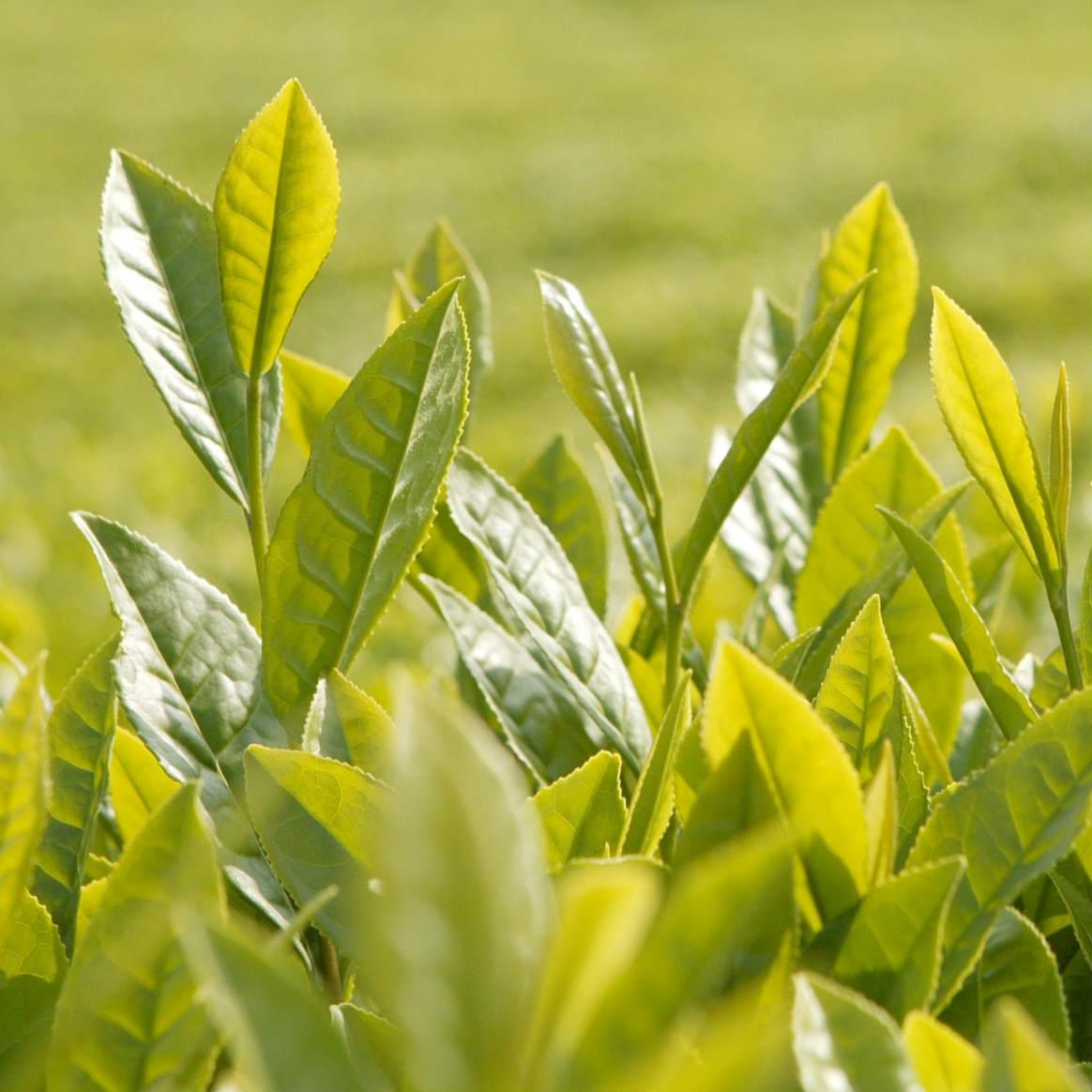 Wholesale professional manufacturer supply green powder organic matcha japan with best quality - 4uTea | 4uTea.com
