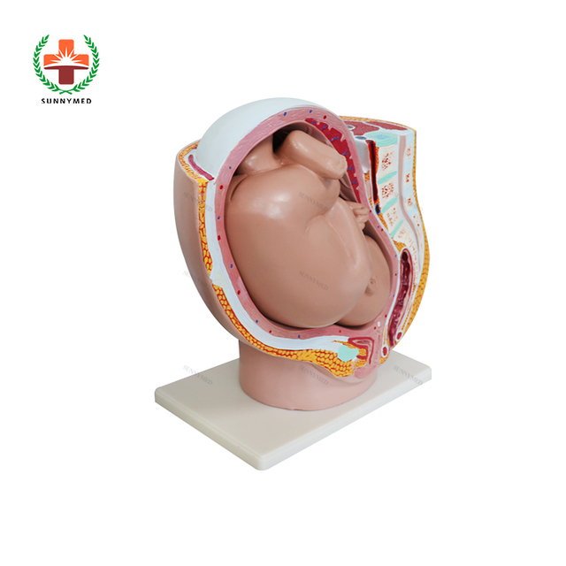 SY-N013 Pregnant Woman Pelvis Anatomy with Baby Fetus Inside Price