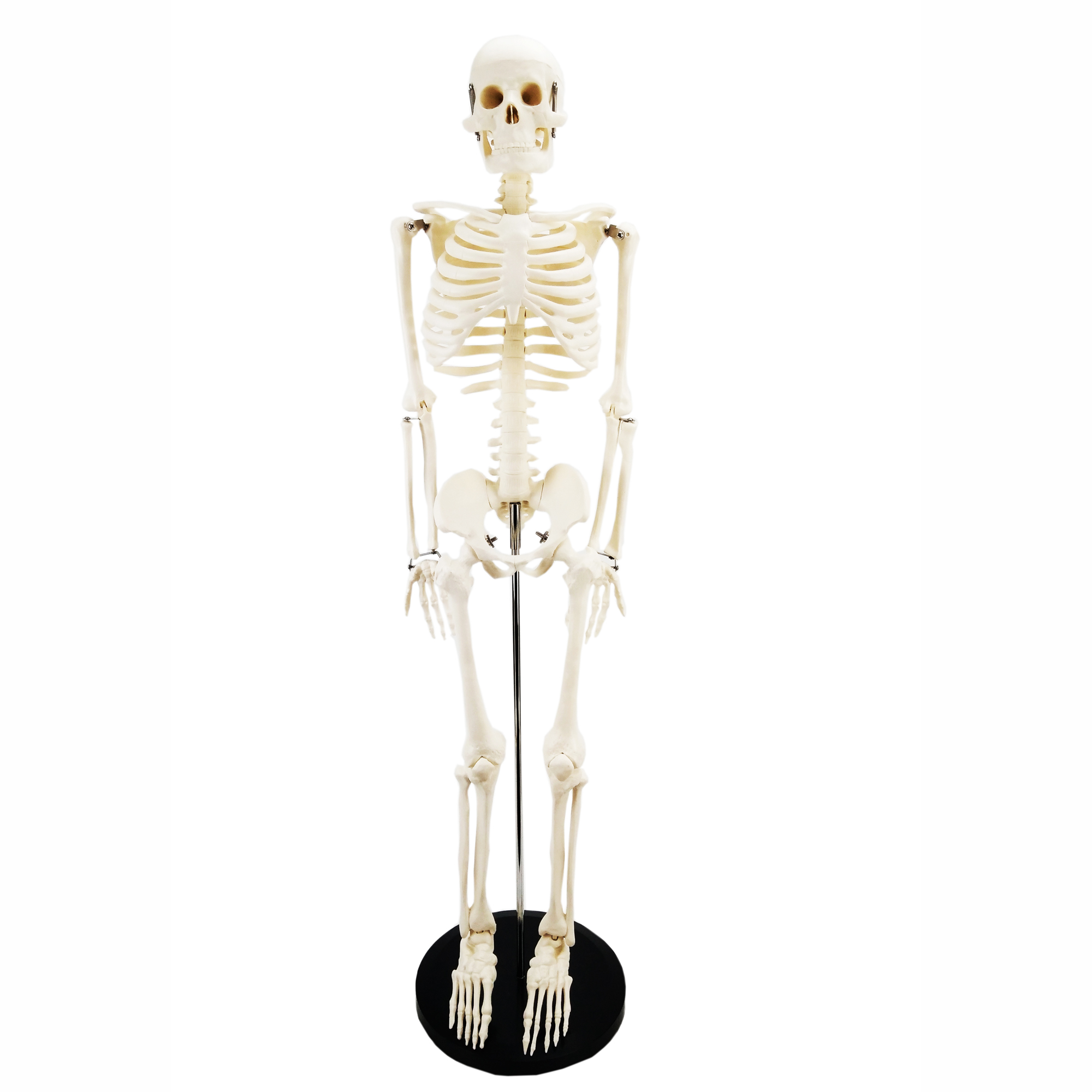 Gelsonlab HSBM-047B 85 Human Skeleton <strong>Model</strong> with Bracket PVC Material Movable Skeleton Biological <strong>Model</strong>