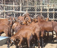 Live Animals - Goats / Sheep / Cattle / Lambs / Cows / Heifers for sale