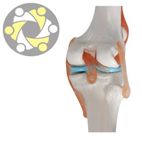Artificial Plastic Teaching Knee Joint Anatomical Model For Medical School