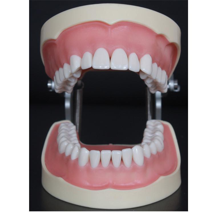 low price human dental practice model /detachable teeth model