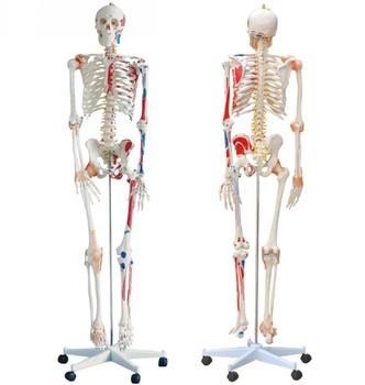 170cm Yuksek Kaliteli Insan Iskelet Modeli Insan Kemik Yarim