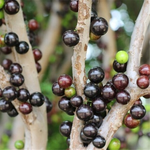 Rare Fruit Seeds For Sale, Wholesale & Suppliers - Alibaba