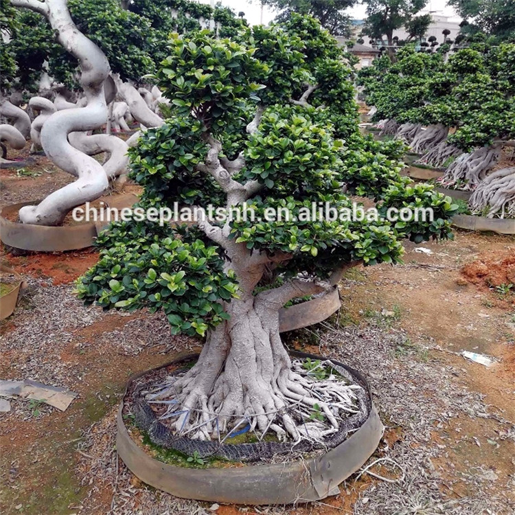 Shima Root Ficus Bonsai Treee Ficus Microcarpa Wholesale Buy Shima Racine Bonsai Ficus Microcarpa Bonsai Plantes Decoratives Pour L Exterieur Product On Alibaba Com