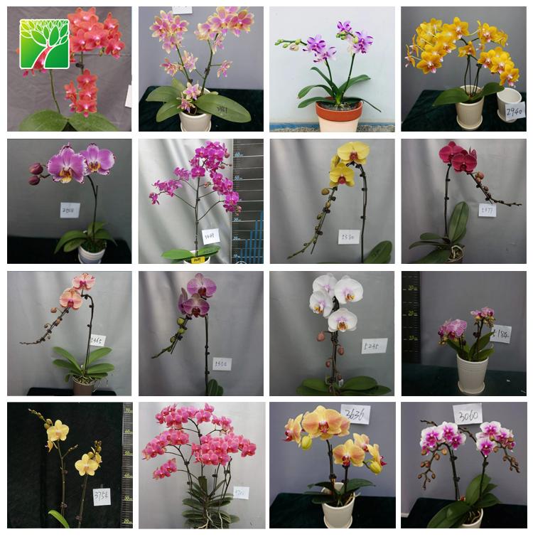 Природные розовые орхидеи фаленопсис рассады ткани культуры в колбе