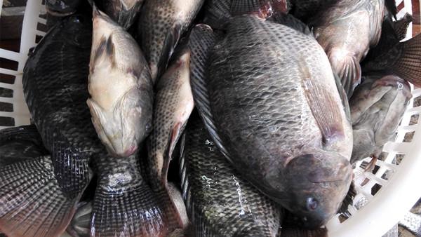 Лучшее качество Замороженные фермы, выращенные рыбы тилапии экспортеры по оптовым ценам покупателей в Южной Африке