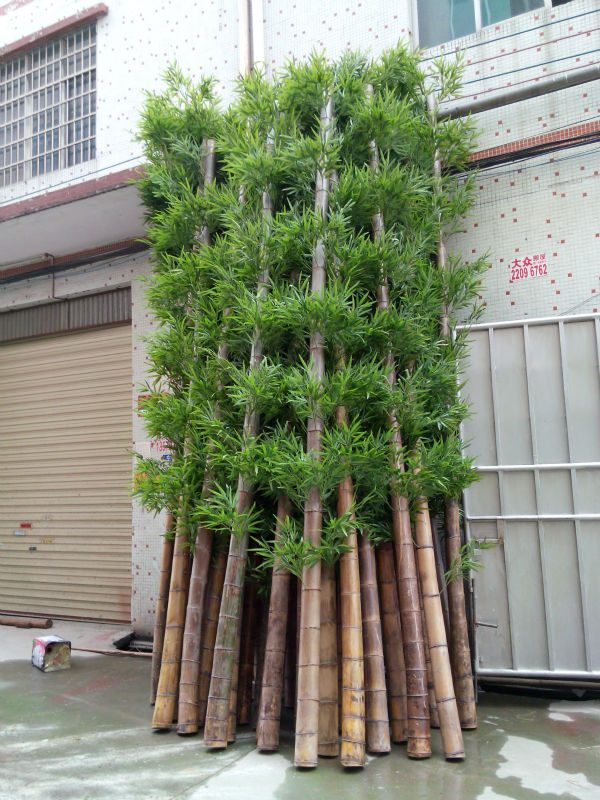 High Quality Outdoor Cheap Real Trunk Lucky Bamboo