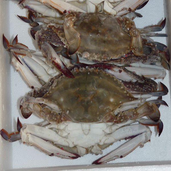 frozen crab blue swimming crab