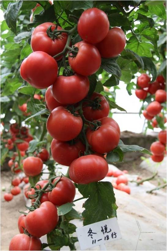 International Class Top Quality Super High Yield Hybrid F1 Big Pink Tomato Seeds For Growing-Dong Yue