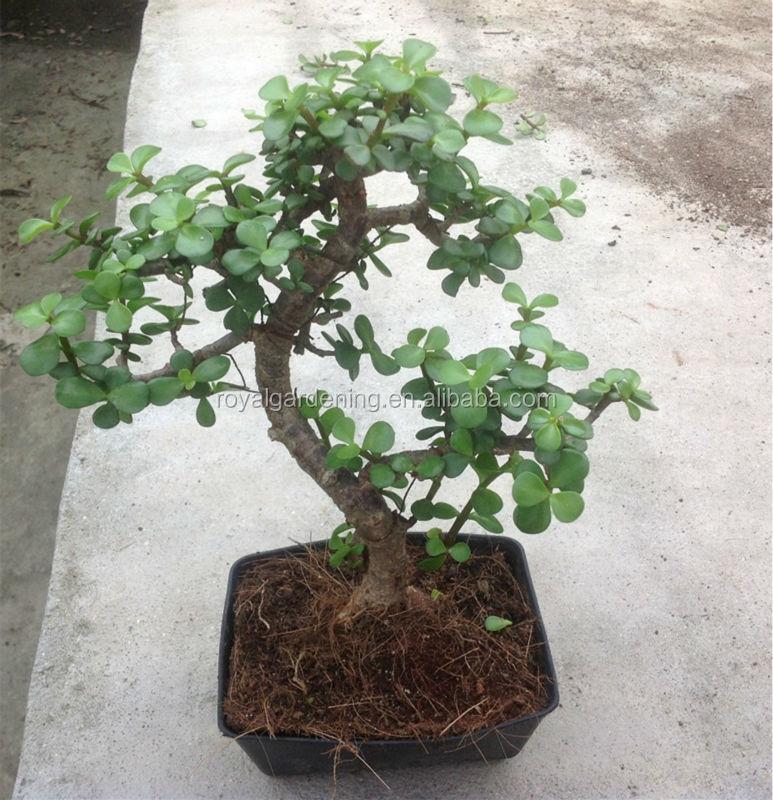 Portulacaria Afra Bonsai Jade Plant Buy Bonsai Plant Sale Jade Plant Bonsai Product On Alibaba Com