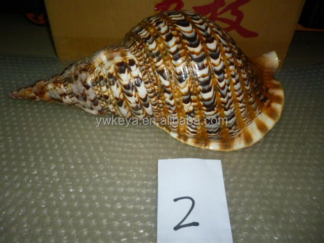 Fengshui Sea Shell Trumpet Triton Conch Conch Shell Wholesale ...