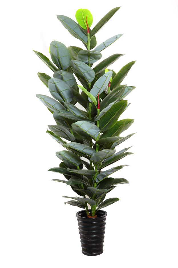 Indian Rubber Plant Tree Ficus Elastica Balata India Fig