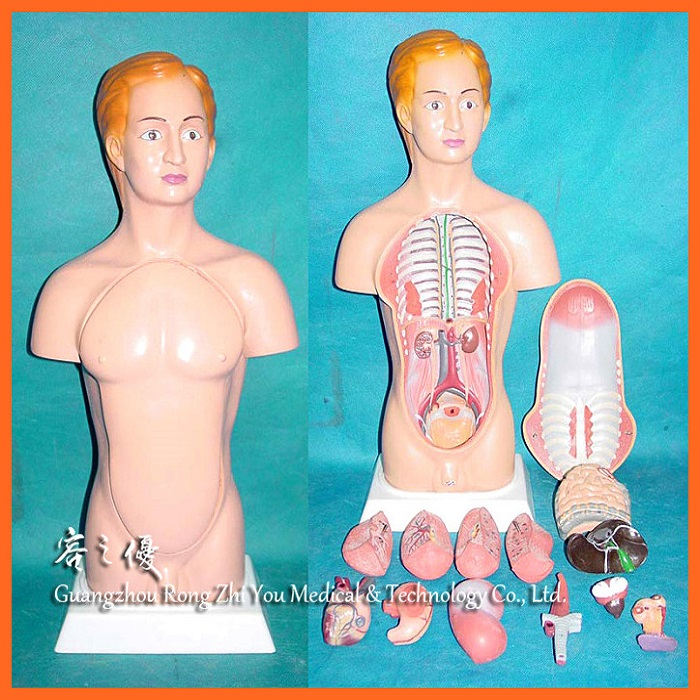 R030108 Medical Teaching 45cm Female Anatomy Human Body Model Buy