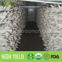 china king oyster mushroom growing kits for sale