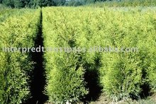 Thuja occidentalis brabant.