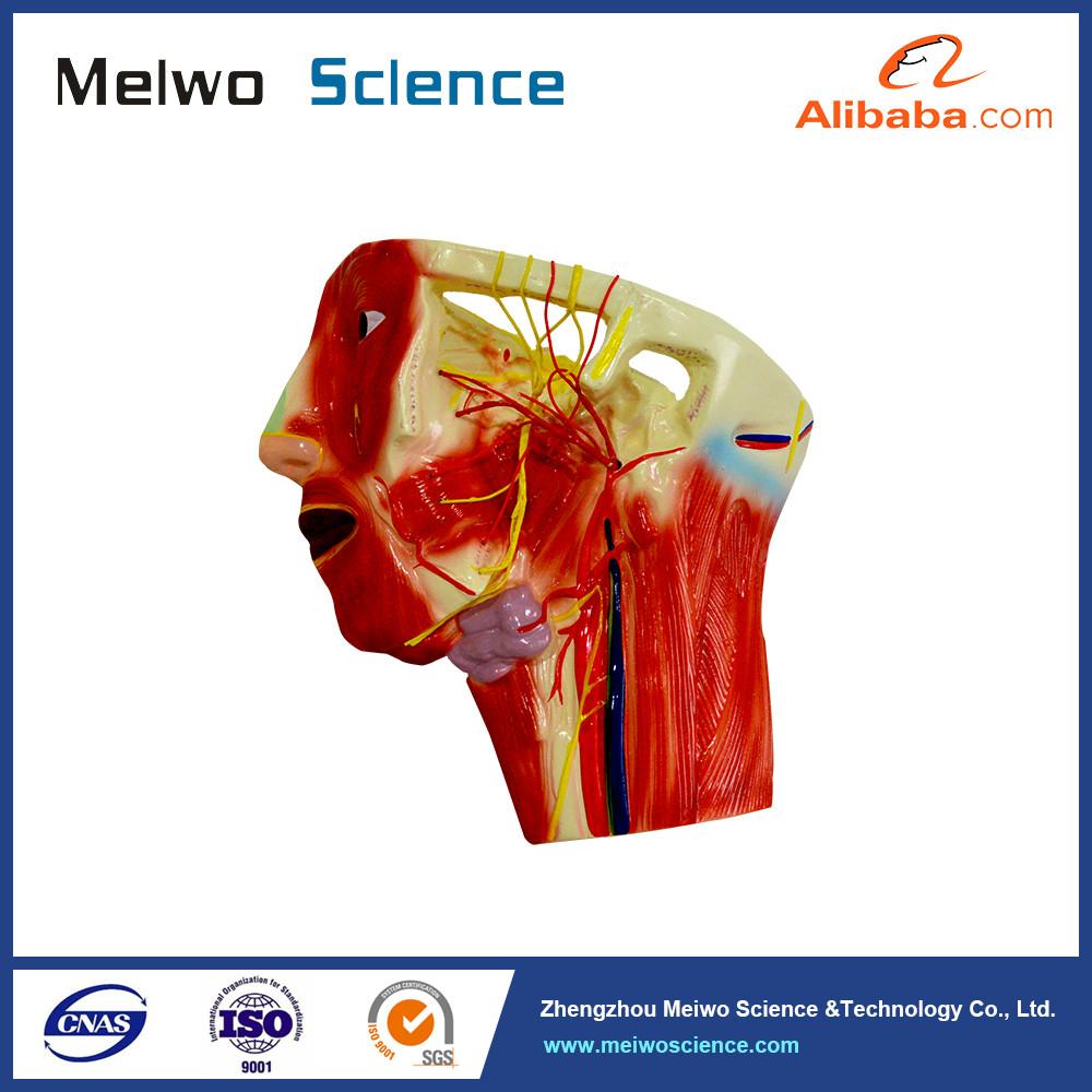 Finden Sie Hohe Qualität Freien Anatomie Hersteller und Freien ...