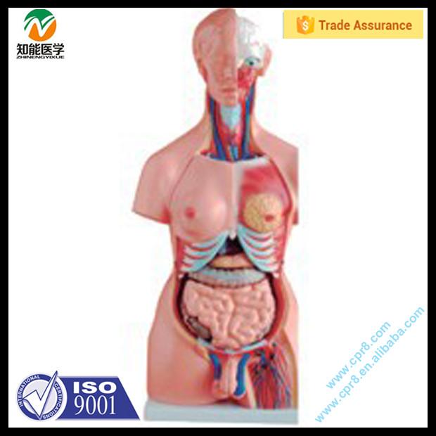Venta caliente humano anatomía torso modelo-Modelo de Esqueleto ...