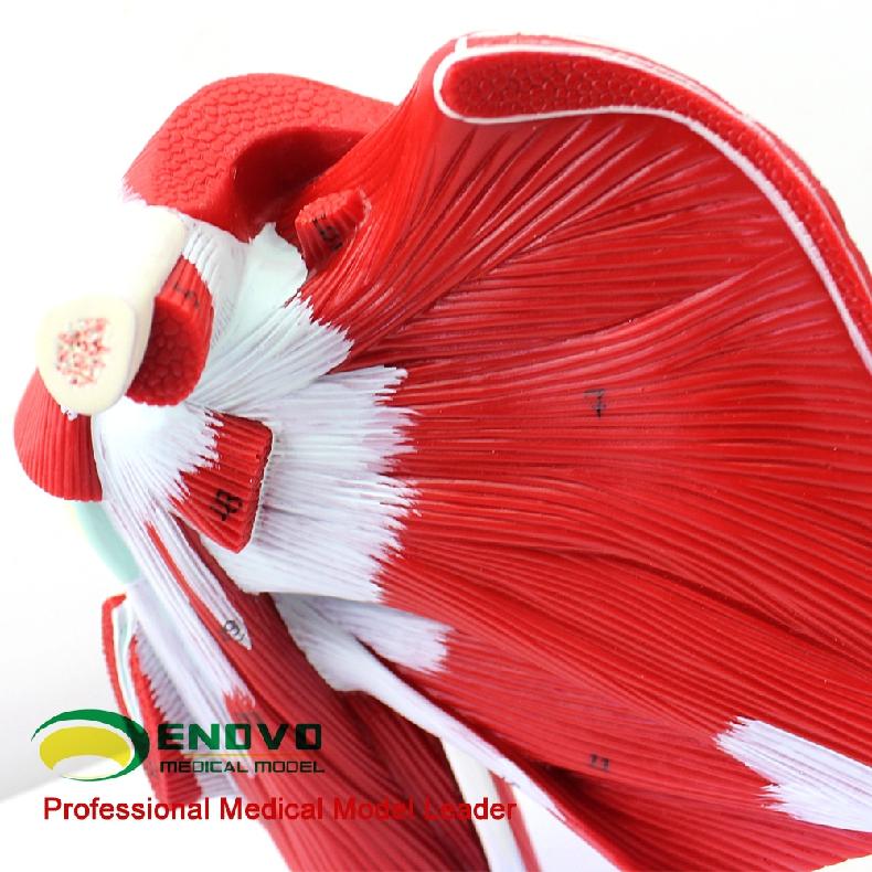 Super September VERKAUF 12037 Medical Anatomie Schulter Muscle Joint ...