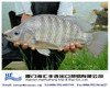 frozen live tilapia fish whole sale from China