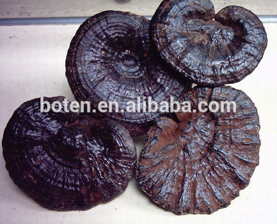Good price 100% Pure Ganoderma lucidum(Leyss.ex Fr.)Karst. Extract with low price