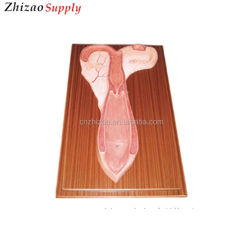 2 Parts Sheep Uterus Anatomical Model - Buy Sheep Anatomical Model ...