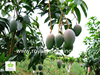 Mangifera indica outdoor fruit trees