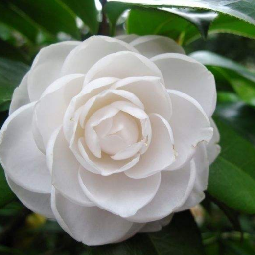 Camellia Japonica Seeds Factory Directly Supply Wholesale Price