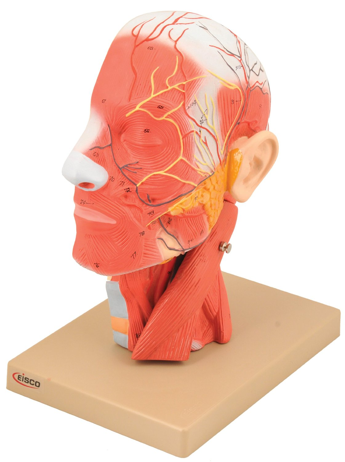 Cheap 3d Human Head Model, find 3d Human Head Model deals on line at ...