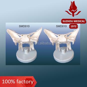 sphenoid bone model - buy sphenoid bone model,sphenoid bone model, Human body