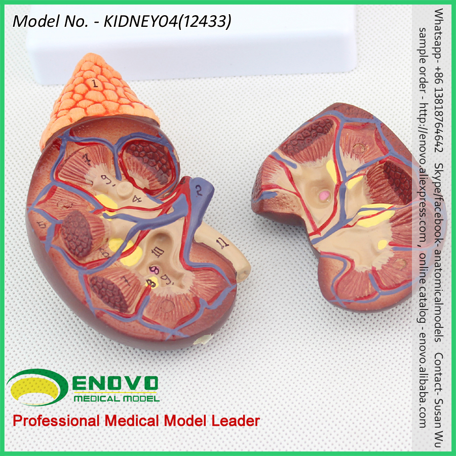 Sell 12433 Life Size Normal Kidney Anatomy Model,Anatomy Urinary ...