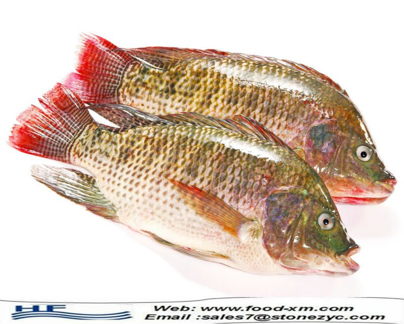 Frozen Seafood Frozen Tilapia Tilapia Fish Farming