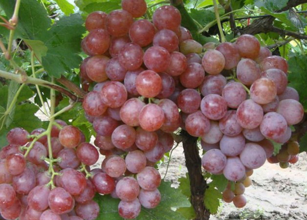 Seedless grape variety and common cultivation type red globe grapes buy seednesss grape for - Seedless grape cultivars ...