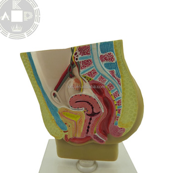 Venta Caliente Reproductor Femenino,Modelo Anatómico Anatomía ...