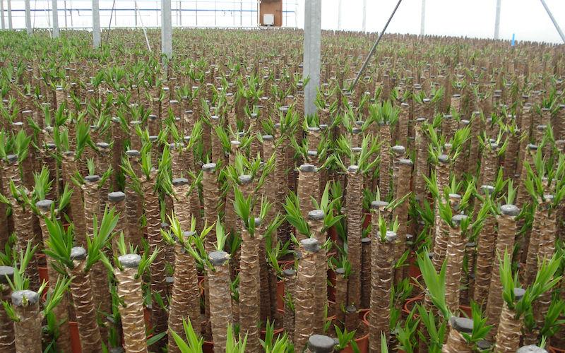 Yucca elephantipes usines bois es id de produit 142240530 for Yucca elephantipes exterieur