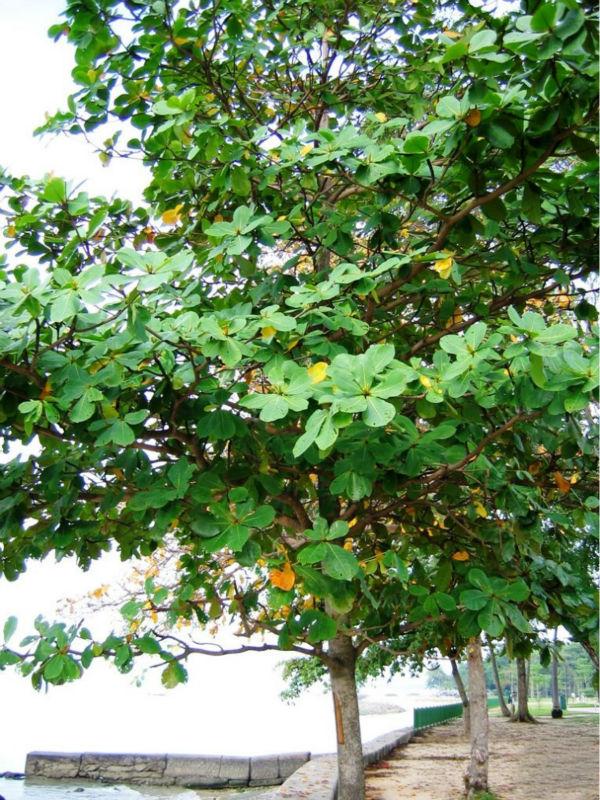 Bauhinia Tomentosa Seeds,St Thomas Tree,Bell Bauhinia Seeds ...