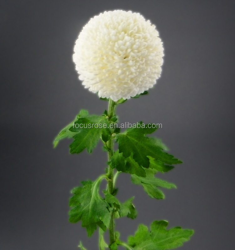Fresh cut new products fresh pompon mum white flower