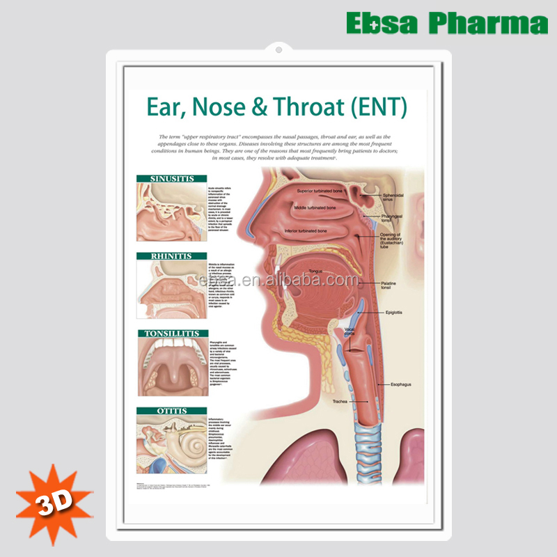 3d Medical Human Anatomy Wall Charts Poster Earnose And Throat