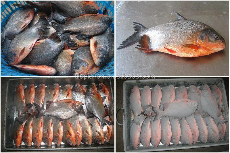 Black pomfret farm fresh fish for sale buy farm fresh for Pacu fish for sale