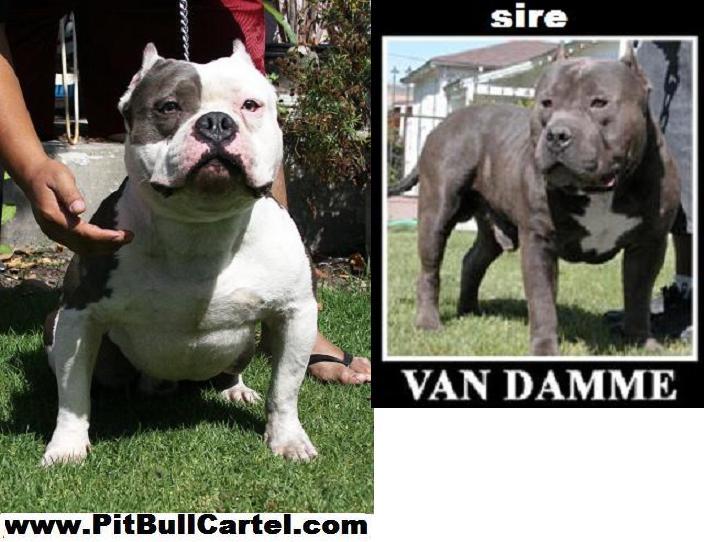 Pitbull Pit Bull Puppy Bully King Gotti Sire Van Damme Remyline