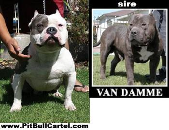 Pitbull Pit Bull Puppy Bully King Gotti Sire Van Damme Remyline Razor Edge  Gotti Remyline Champion Blood Line - Buy Pitbull Pit Bull Puppy Bully King