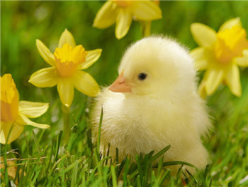 Cute little yellow chick with flower animated 3d chick picture buy cute little yellow chick with flower animated 3d chick picture mightylinksfo