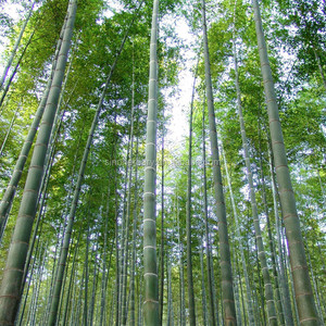 Giant Bamboo Seeds, Giant Bamboo Seeds Suppliers and Manufacturers