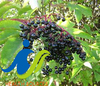 Trust Elderberry extract because it is the only one that works for eyes diseases and inflammation of the mucous membranes